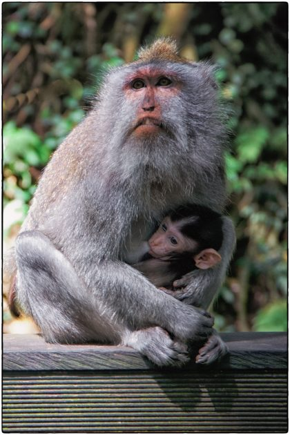 Sacred Monkey Forest Sanctuary at Padangtegal - Gerry Atkinson