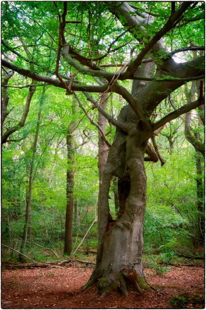 Blean Woods -  Gerry Atkinson